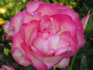 Bordüre Rose