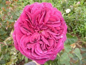 Sophis Rose (2)