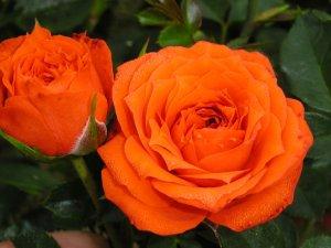 Orange Juwel1